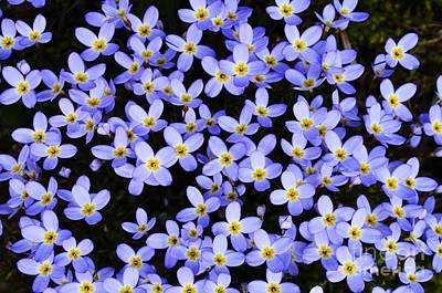 Tiny Bluet Photograph - Bluets In Shade by Thomas R Fletcher