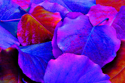 Bluish Purple And Pink Leaves Art Print by Sheila Kay McIntyre