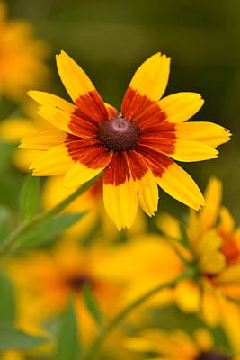 Print featuring the photograph Blush-eyed Susan by JD Grimes