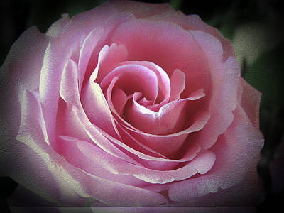 Photograph - Blush Pink Rose by Fiona Messenger