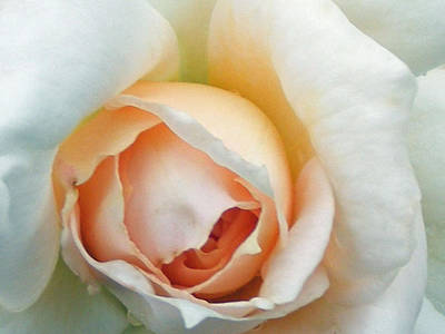 Photograph - Blushing Rose by Carol Bruno