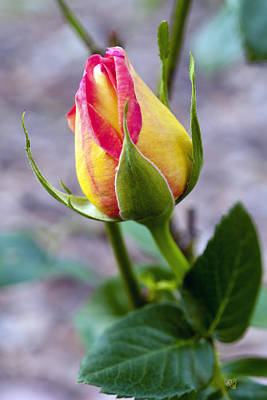 Photograph - Blushing Yellow Rosebud by Barbara Middleton