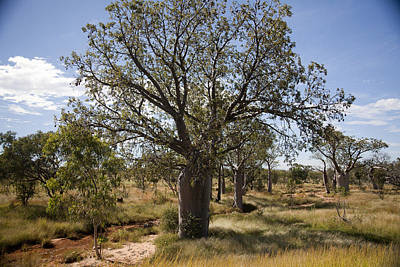 Photograph - Boab Forest by Carole Hinding