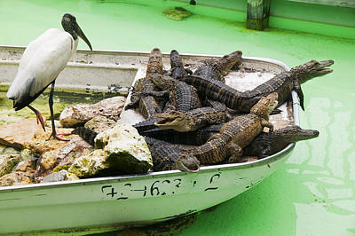 Boat Full Of Alligators  Art Print