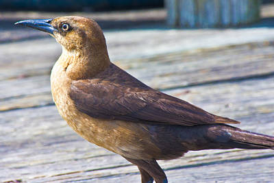 Topsail Photograph - Boat Tail Grackle by Betsy Knapp