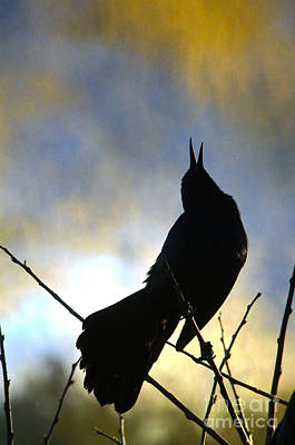 Photograph - Boat-tailed Grackle by Mark Newman and Photo Researchers