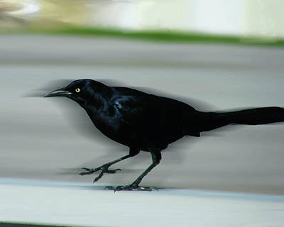 Photograph - Boattail In The Fast Lane by Lizi Beard-Ward