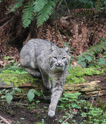 Photograph - Bobcat - 0002 by S and S Photo