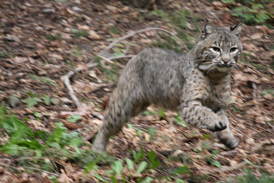 Photograph - Bobcat - 0003 by S and S Photo