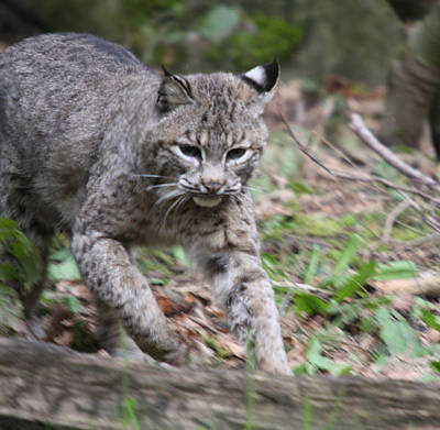 Photograph - Bobcat - 0004 by S and S Photo