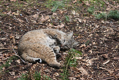 Art Print featuring the photograph Bobcat - 0016 by S and S Photo