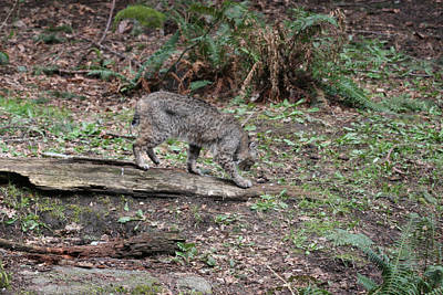 Art Print featuring the photograph Bobcat - 0018 by S and S Photo