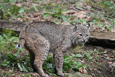Art Print featuring the photograph Bobcat - 0019 by S and S Photo