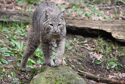 Art Print featuring the photograph Bobcat - 0020 by S and S Photo
