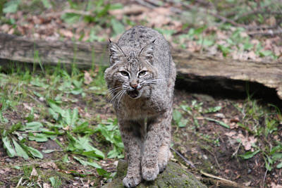 Art Print featuring the photograph Bobcat - 0021 by S and S Photo
