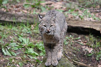 Art Print featuring the photograph Bobcat - 0022 by S and S Photo