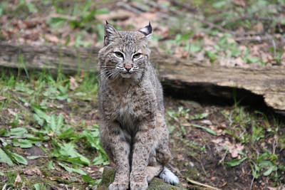 Art Print featuring the photograph Bobcat - 0024 by S and S Photo