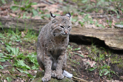 Art Print featuring the photograph Bobcat - 0025 by S and S Photo