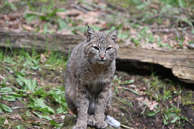 Art Print featuring the photograph Bobcat - 0026 by S and S Photo