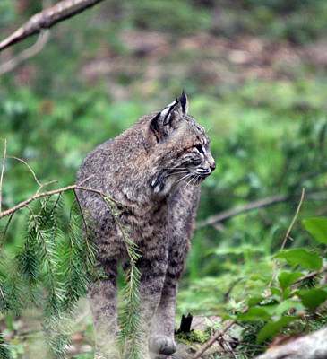Art Print featuring the photograph Bobcat - 0027 by S and S Photo