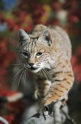 Bobcat Felis Rufus Art Print by David Ponton