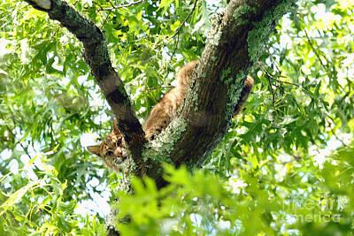 Photograph - Bobcat In Tree by Dan Friend