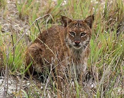 Male Bobcat Photograph - Bobcat by Ira Runyan