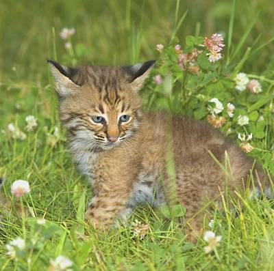 Bobcat Kitten Photograph - Bobcat Kitten by John Pitcher
