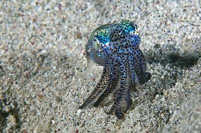 Bobtails Photograph - Bobtail Squid On The Seabed by Matthew Oldfield