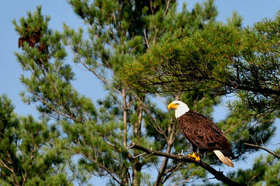 Photograph - Bog River Eagle  by Peter DeFina