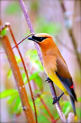 Photograph - Bohemian Waxwing by Shehan Wicks