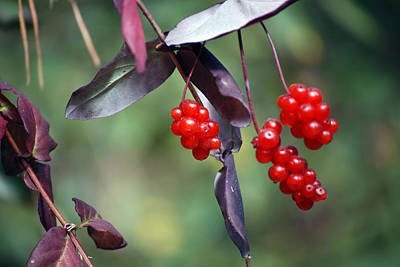 Photograph - Bokeh Of Coffeeberry by Harvey Barrison