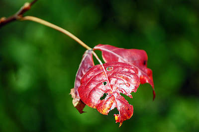 Photograph - Bokeh Of Leaf by Harvey Barrison