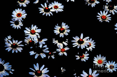 Photograph - Bold Daisies by Mark Dodd