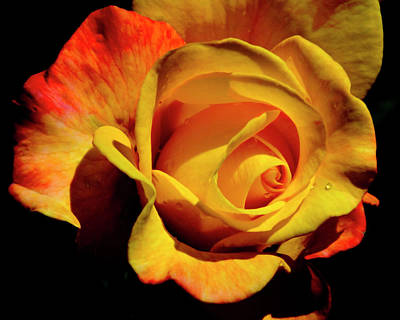 Photograph - Bold Rose 2 by Francesa Miller