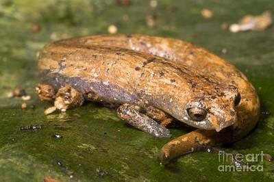 Salamanders Photograph - Bolitoglossine Salamander by Dante Fenolio