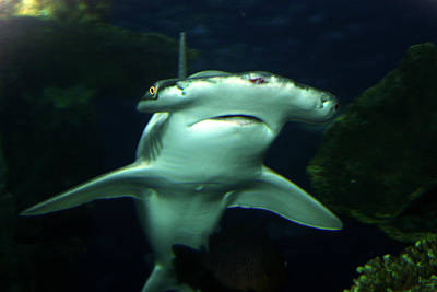Photograph - Bonnet Head Shark by Anthony Jones