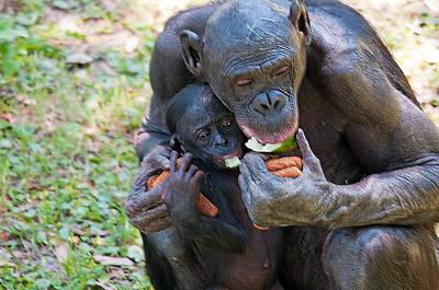 Bonobo 3 Art Print by Kenneth Albin