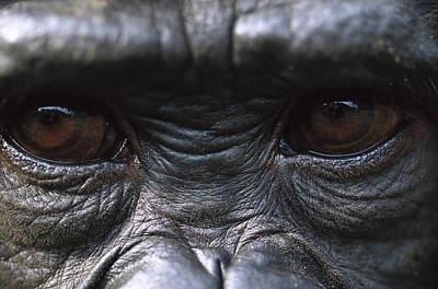 Bonobo Pan Paniscus Close-up Of Eyes Art Print