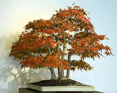 Photograph - Bonsai Maple by Francesa Miller