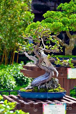 Photograph - Bonsai Tree by Bonnie Myszka