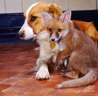 Animal Portraiture Photograph - Border Collie And Fox by Jane Burton