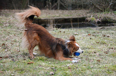 Dog Playing Ball Photograph - Border Collie Playing With Ball by Mark Taylor