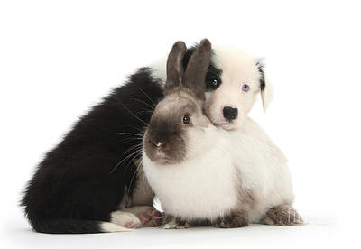 Photograph - Border Collie Pup With Colorpoint Rabbit by Mark Taylor