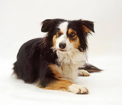 Pet Health Photograph - Border Collie With Missing Eye by Jane Burton