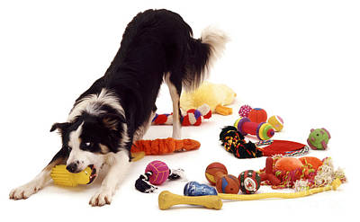 Photograph - Border Collie With Toys by Jane Burton