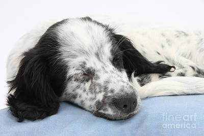 Border Collie X Cocker Sleeping Puppy Print by Mark Taylor