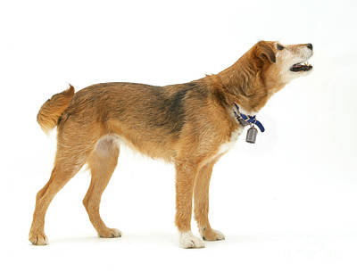 Border Collie X Lakeland Terrier Art Print