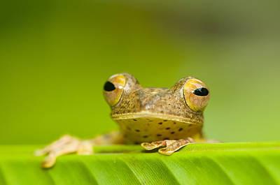 Borneo Red Flying Frog (rhacophorus Pardalis), Danum Valley, Primary Forest, Sabah, Borneo, Malaysia Art Print