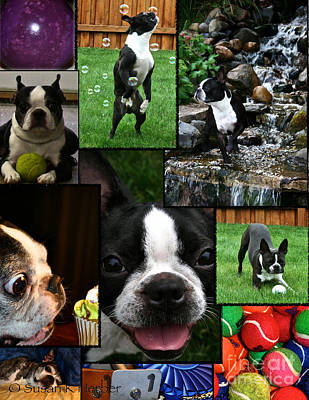 Photograph - Boston Terrier Photo Collage by Susan Herber